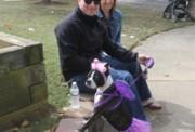 boston terrier cute6641